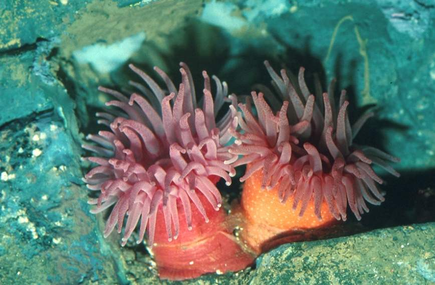 Las Anemonas de Mar.