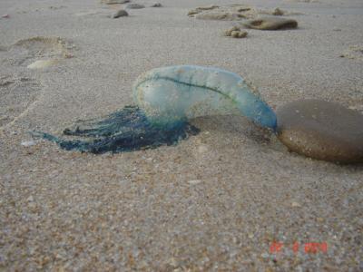 Medusa caravela portuguesa.